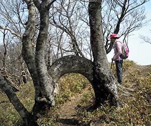 ブナの珍変木