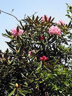 綺麗な花を咲かせていたシャクナゲ
