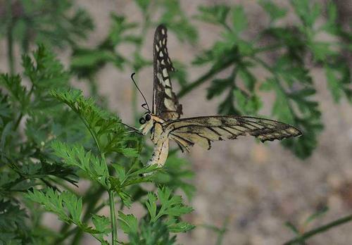 キアゲハと思われる変な蝶(横から)