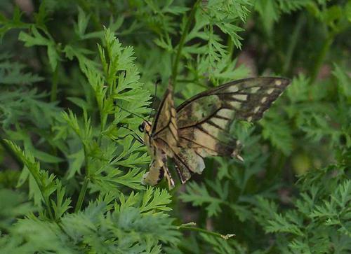 キアゲハと思われる変な蝶(後ろから)
