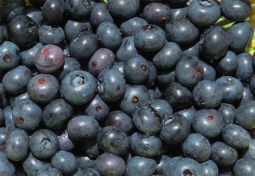 最大で1cmほどの粒が大きいブルーベリー