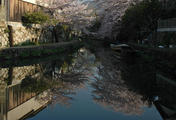 八幡掘り(川面に映った桜)