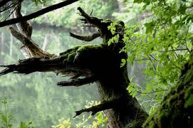 志賀高原 三角池で見つけた奇木