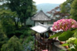 20番 西山 善峯寺の紫陽花